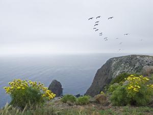 Brown Pelicans Fly over Santa Cruz Island, California by Rich Reid