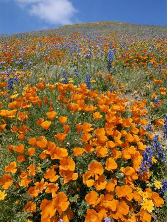 California Poppies and Lupines Fill a Landscape with a Golden Glow
