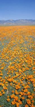 California Poppies Fill a Landscape with a Golden Glow by Rich Reid