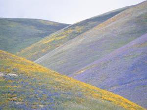California Poppies, Lupines, and Goldfield Cover Gentle Hillsides by Rich Reid