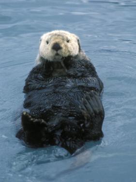 Closeup of a Sea Otter, Alaska by Rich Reid