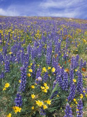 Coreopsis, Gilia, California Poppy and Lupine by Rich Reid