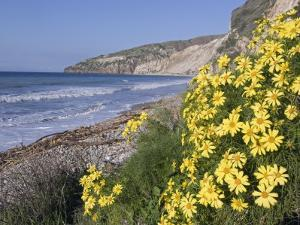 Endemic Giant Coreopsis, Coreopsis Gigantea, at Chinese Harbor by Rich Reid