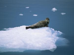 Harbor Seal (Phoca Vitulina) on an Iceberg in Columbia Bay by Rich Reid