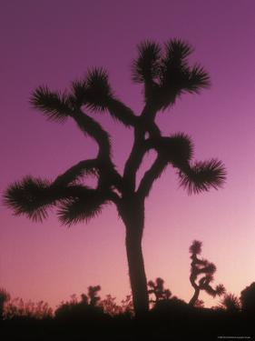 Joshua Trees with Colored Gel, California by Rich Reid