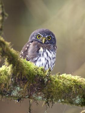 Northern Pygmy-Owl, Glaucidium Gnoma, in the Rainforest by Rich Reid