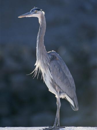 Portrait of a Great Blue Heron by Rich Reid