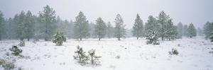 Snow-Covered Ponderosa Pine Trees Near Kaibab Lake by Rich Reid