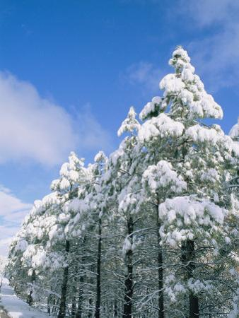 Snow-Covered Trees, Coconino National Forest, Arizona