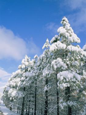 Snow-Covered Trees, Coconino National Forest, Arizona by Rich Reid
