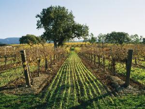 Vineyard Displays Autumn Colors by Rich Reid