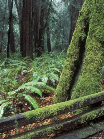 Winter Greenery in the Redwood Forest, California