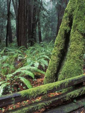 Winter Greenery in the Redwood Forest, California by Rich Reid
