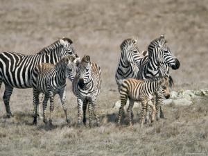 Zebras on the Hearst Castle Property, California by Rich Reid