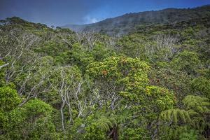 Ohia Forest Canopy at Kamakou Preserve, of Nature Conservancy, Molokai, Hawaii by Richard A Cooke III