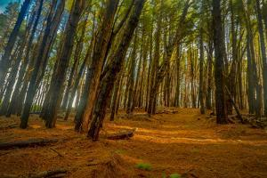 Pine Forest Floor at Makakupaia, in the Kamakou Preserve of Nature Conservancy by Richard A Cooke III