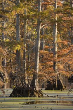 Bald Cypress Trees in Fall, Horseshoe Lake State Fish and Wildlife Areas, Alexander County, Il by Richard and Susan Day