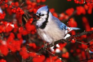 Blue Jay in Common Winterberry Squawking in Winter, Marion County, Illinois by Richard and Susan Day