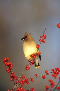 Cedar Waxwing in Common Winterberry, Marion, Il by Richard and Susan Day