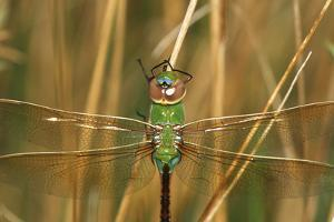 Common Green Darner Female in Wetland, Marion County, Illinois by Richard and Susan Day