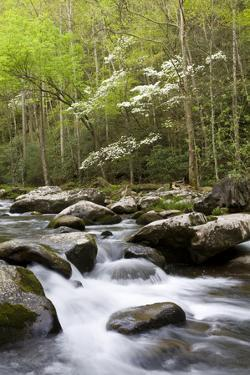 Dogwood Trees in Spring Along Little River, Great Smoky Mountains National Park, Tennessee by Richard and Susan Day