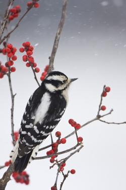 Downy Woodpecker Female in Common Winterberry in Winter, Marion Co. IL by Richard and Susan Day