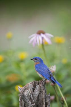 Eastern Bluebird Male in Flower Garden, Marion County, Il by Richard and Susan Day