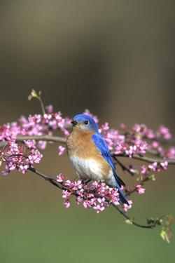 Eastern Bluebird Male in Redbud Tree in Spring, Marion, Il by Richard and Susan Day
