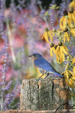 Eastern Bluebird Male on Fence in Flower Garden, Marion, Il
