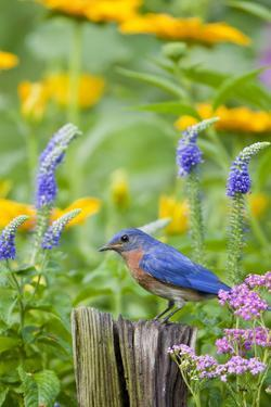 Eastern Bluebird on Fence Post in Flower Garden, Marion Co. IL by Richard and Susan Day