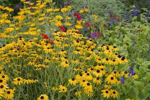 Flower Garden with Black-Eyed Susans and Black and Blue Salvias, Marion County, Il by Richard and Susan Day