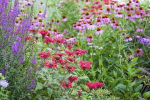 Garden with Purple Coneflowers, Red Bee Balm, and Purple Lythrum, Marion County, Illinois by Richard and Susan Day