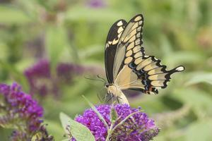 Giant Swallowtail Butterfly on Butterfly Bush, Marion County, Il by Richard and Susan Day