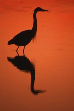Great Blue Heron at Sunset, J.N. Ding Darling National Wildlife Reserve, Florida by Richard and Susan Day