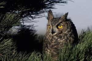 Great Horned Owl in Pine Tree, Colorado by Richard and Susan Day