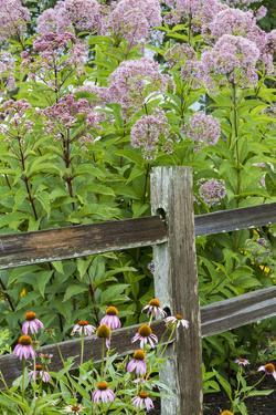 Joe Pye Weed and Purple Coneflowers Along Fence, Marion County, Illinois, Pr by Richard and Susan Day