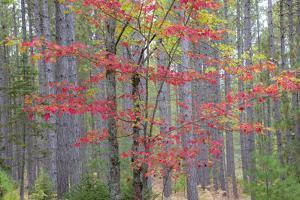 Maple in Fall, Hiawatha National Forest, Near Munising, Michigan by Richard and Susan Day