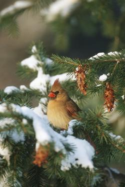 Northern Cardinal Female in Spruce Tree in Winter, Marion, Il by Richard and Susan Day