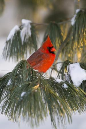 Northern Cardinal Male in White Pine Tree in Winter, Marion County, Illinois by Richard and Susan Day