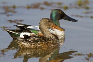 Northern Shovelers Male and Female in Wetland, Marion Co. IL by Richard and Susan Day
