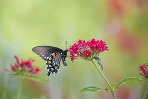 Pipevine Swallowtail Butterfly Male on Red Pentas, Marion County, Il by Richard and Susan Day