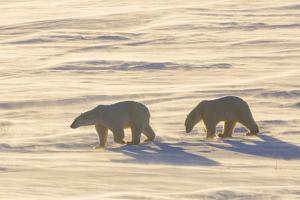 Polar Bears in Cape Churchill Wapusk National Park, Churchill, Manitoba, Canada by Richard and Susan Day
