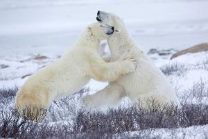 Polar Bears Sparring in Churchill Wildlife Management Area, Churchill, Manitoba, Canada by Richard and Susan Day