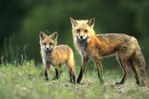 Red Fox Adult with Kit, Illinois by Richard and Susan Day