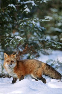 Red Fox Walking in Snow in Winter, Montana by Richard and Susan Day