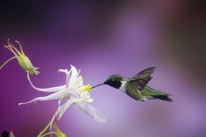 Ruby-Throated Hummingbird Female on Mckana's Hybrid Columbine, Shelby County, Illinois by Richard and Susan Day