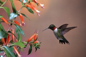 Ruby-Throated Hummingbird Male at Cigar Plant, Shelby County, Illinois by Richard and Susan Day