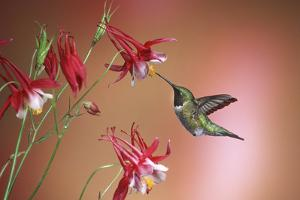 Ruby-Throated Hummingbird Male on Crimson Star Columbine, Illinois by Richard and Susan Day