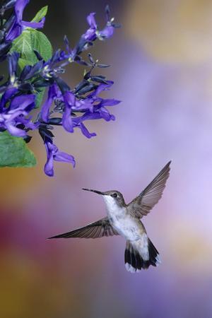 Ruby-Throated Hummingbird on Black and Blue Salvia, Illinois