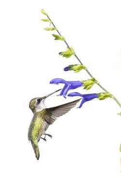 Ruby-Throated Hummingbird on Blue Ensign Salvia on White Background, Marion County, Illinois by Richard and Susan Day